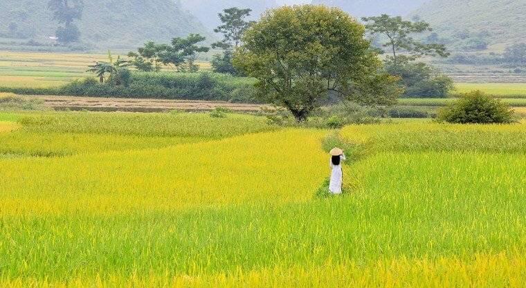 Hình ảnh cánh đồng lúa đẹp trong bài văn tả đồng lúa