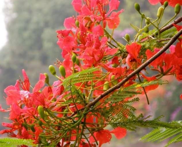 Bài văn mẫu tả cây phượng